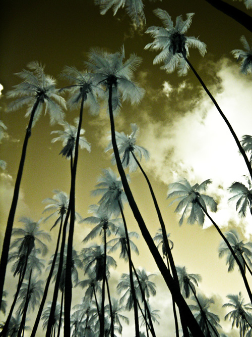 soaring palms in the grove