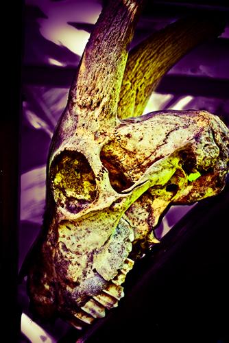Animal Skull Split-Tone