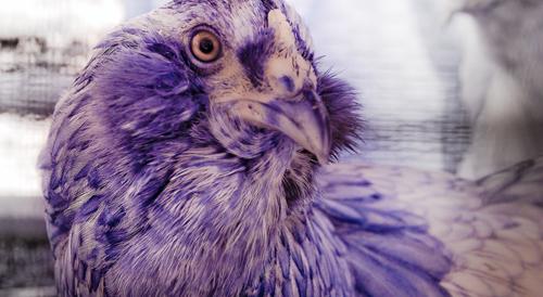 Infrared Chicken - BAWK-BAWK!